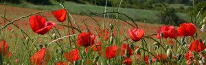 cropped-coquelicots.jpg